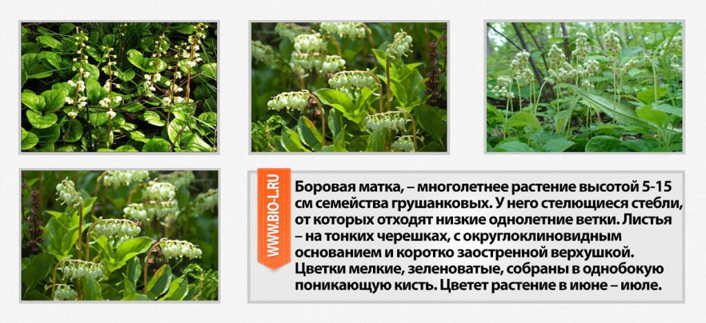 borovaya-matka