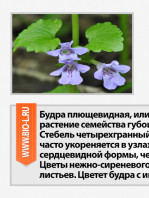 budra-plushevidnaya