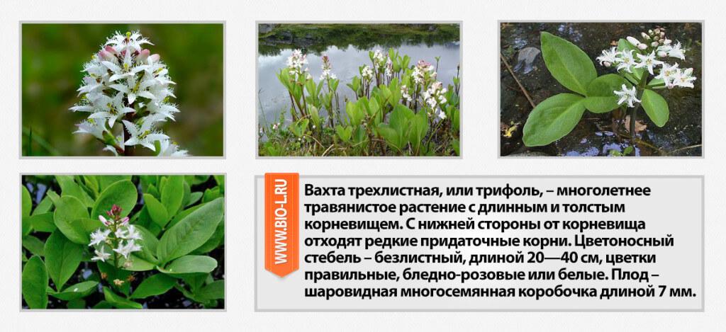 vahta-trehlistnaya