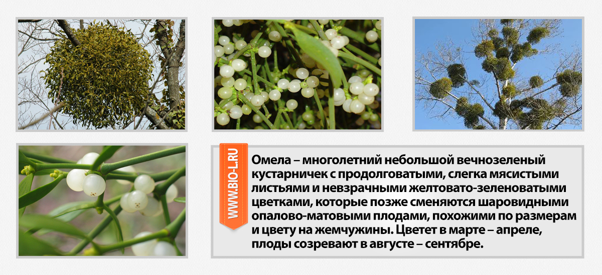 омела ивная что это за растение фото характеристики, отзывы