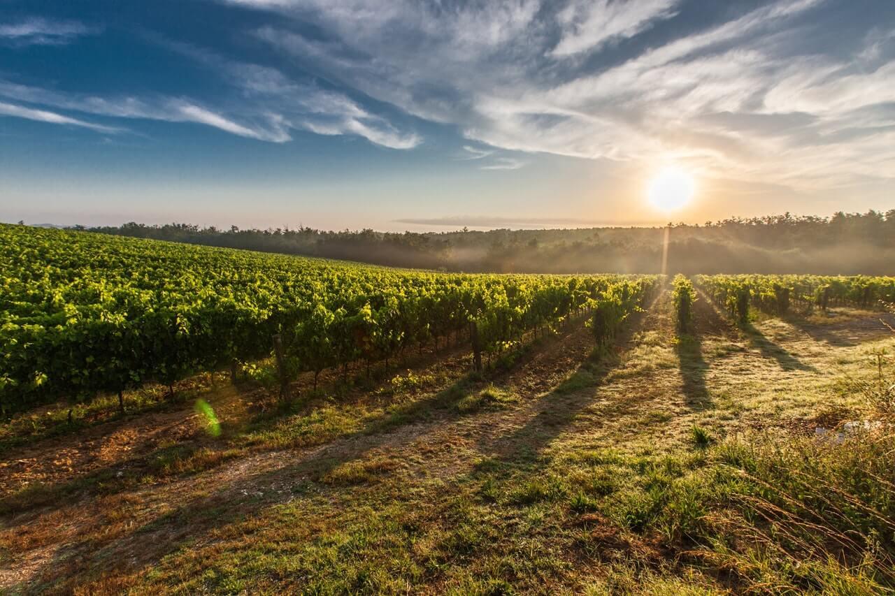 виноград плантация